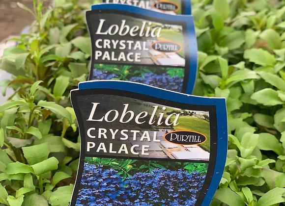 Lobelia - Crystal Palace punnet