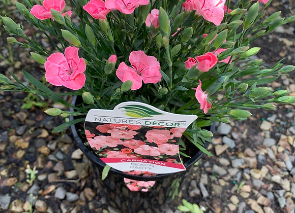 Carnation - Peach Party