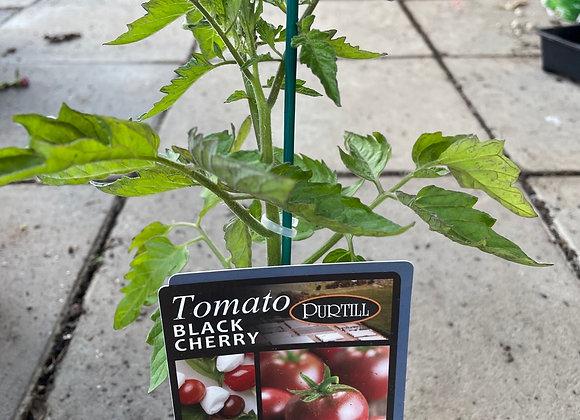 Tomato - Black Cherry ADVANCED
