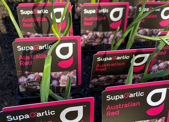 Garlic Australain Red Supagarlic 100mm pot