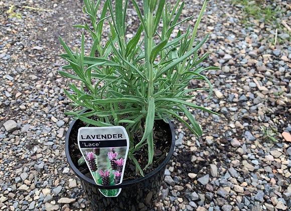 Lavender 'Lace'
