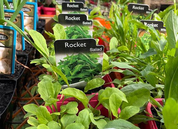 Rocket - Salad 100mm pot