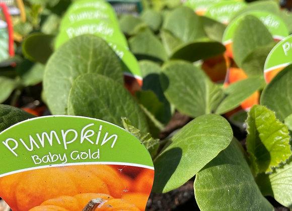 Pumpkin - Baby Gold
