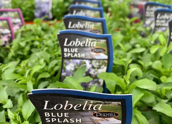 Lobelia - Blue Splash punnet
