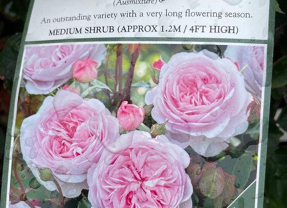 Bush Rose  - Olivia Rose Austin DAVID AUSTIN 20cm pot