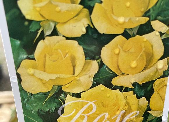 Climbing Rose  - Gold  Bunny 20cm pot