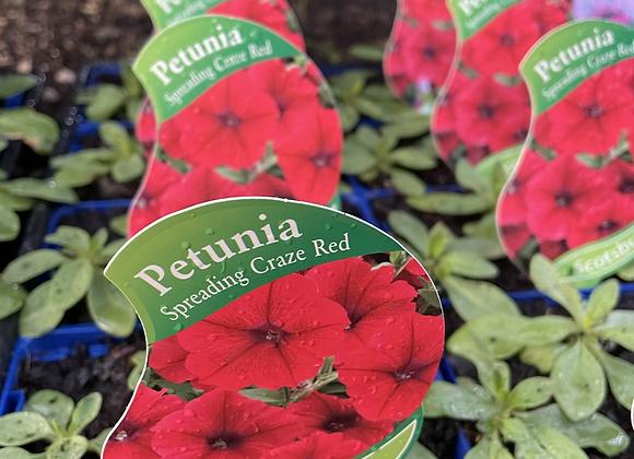 Petunia - Spreading Craze Red vigorous spreader