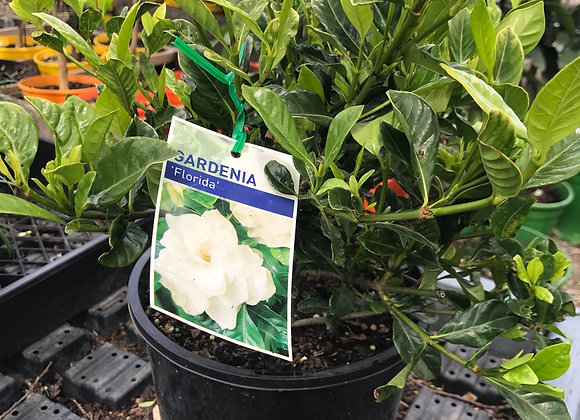 Gardenia - Florida