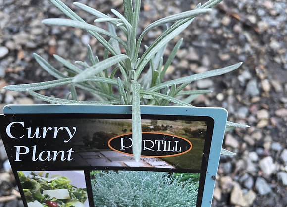 Curry plant 100mm pot semi advanced