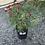 Thumbnail: Argyranthemum - Molimba red