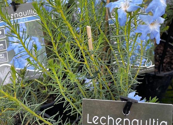 Lechenaultia - Blue Ruffles 14cm pot