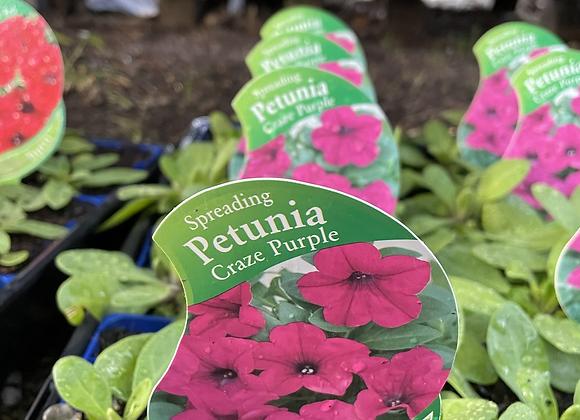 Petunia - Spreading Craze Purple vigorous spreader