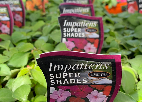 Impatiens - Super shades punnet
