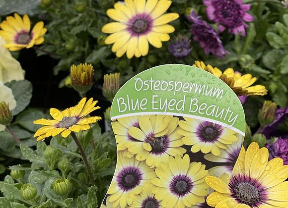 Osteospermum -  Blue Eyed Beauty 200mm pot