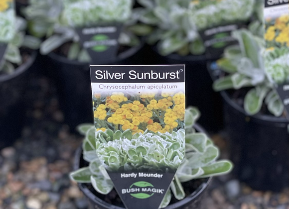 Chrysocephalum Apiculatum - Silver Sunburst