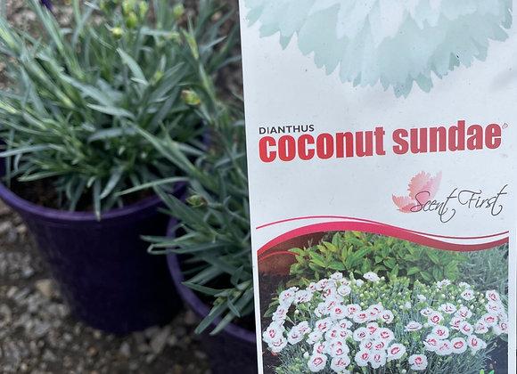 Dianthus Coconut Sundae in bud PGA 14cm pot