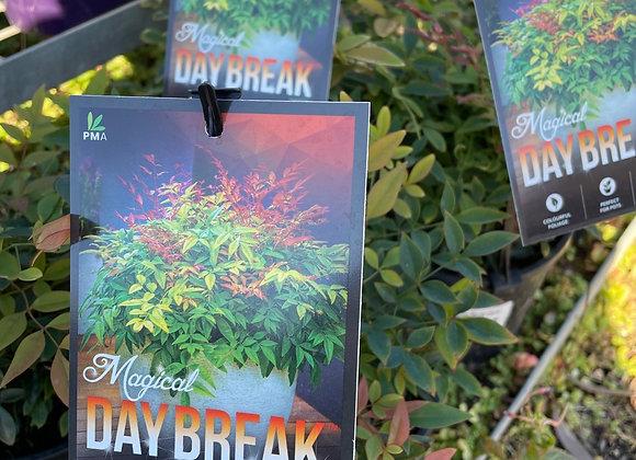 Nandina- Magical Day Break