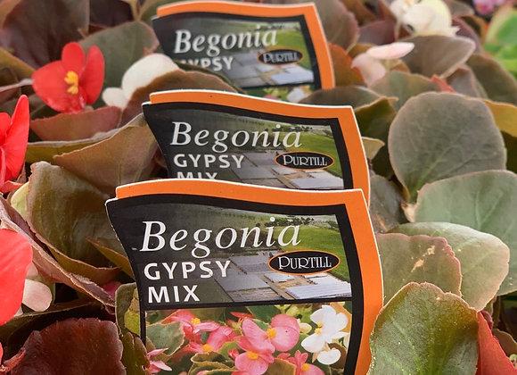 Begonia - Gypsy Mix punnet