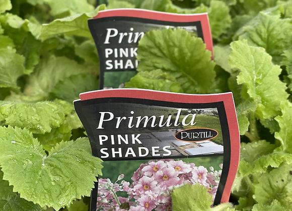 Primula-Pink Shades