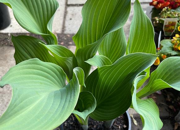 Hosta - Krossa Regal fresh new leaf growth 20cm pot