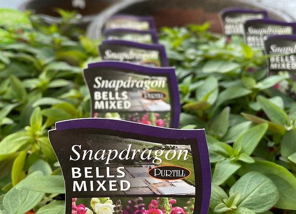 Snapdragon - Bells Mixed punnet