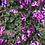 Thumbnail: Petunia - spreading perennial VIOLET STAR