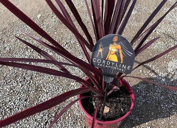 Cordyline - Pocahontas 20cm pot