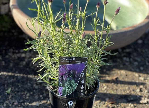 Lavender Javelin Forte Purple