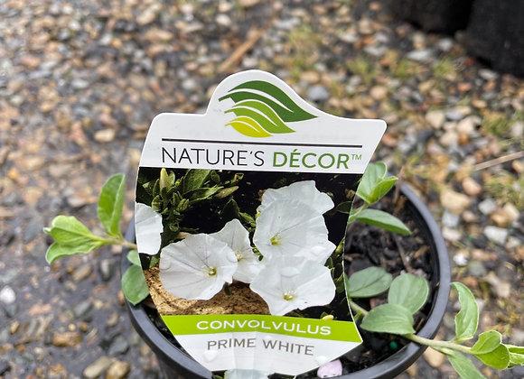 Convolvulus Sabatius - Prime White 14cm pot