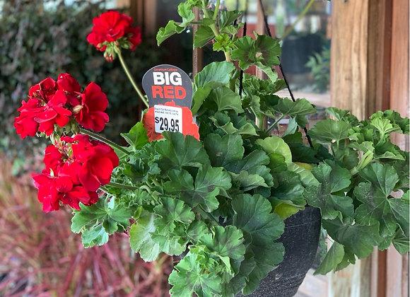 Big Red geranium hanging basket