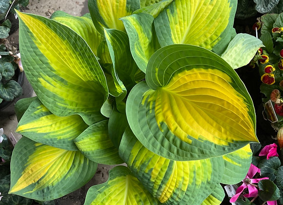 Hosta - Orange Marmalade fresh new leaf growth 20cm pot