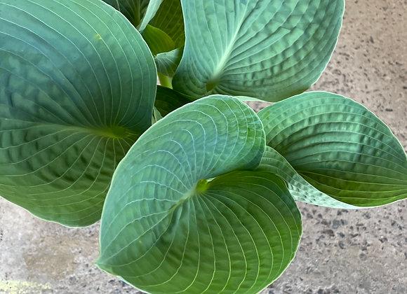 Hosta - Big Daddy fresh new leaf growth 20cm pot
