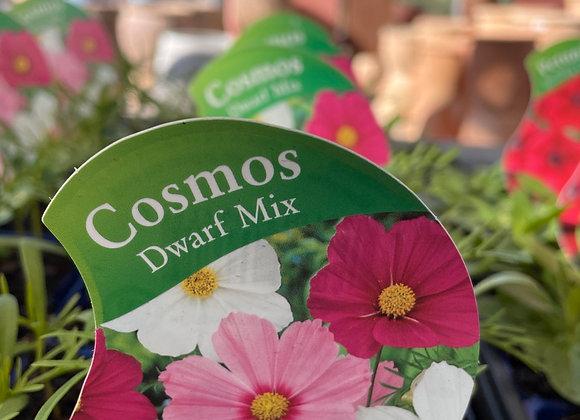 Cosmos - Dwarf Mix punnet