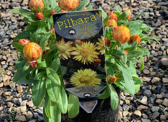 Pilbara - Little Jack