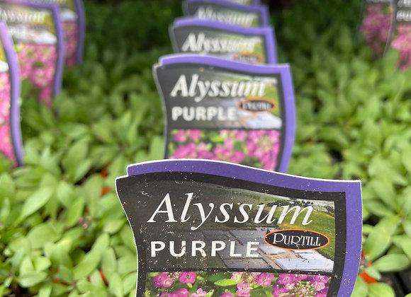 Alyssum -  Purple punnet