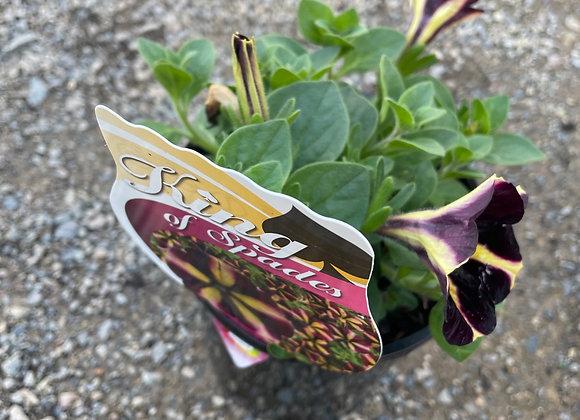 Petunia - spreading perennial King of spades