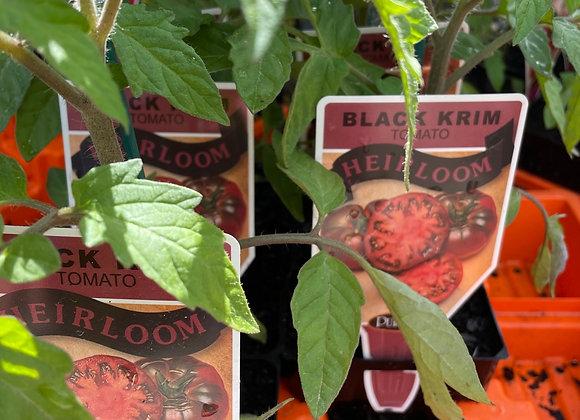 Tomato - Black Krim ADVANCED