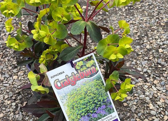Euphorbia - Craigieburn 14cm pot PGA