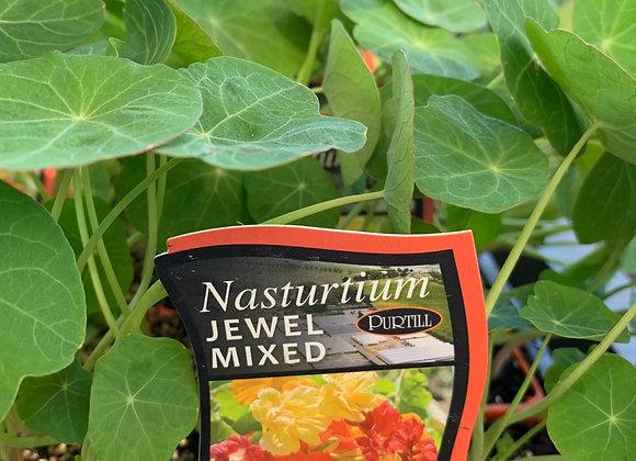 Nasturtium - Jewel mixed punnet