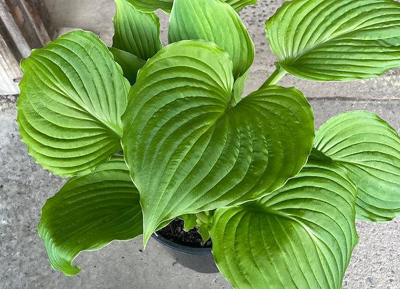 Hosta Ventricosa fresh new leaf growth 20cm pot