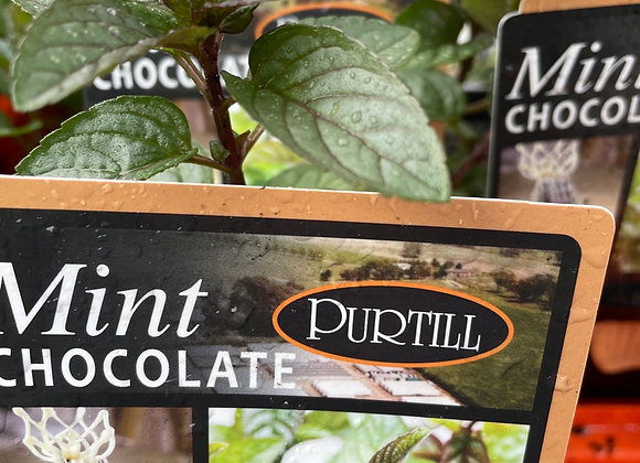 Mint Chocolate - 100mm square pot SEMI ADVANCED