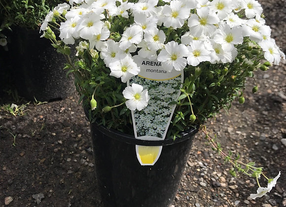 Arenaria - Montana flowering
