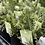 Thumbnail: Fern - Silver Lady shady outdoors light position indoors