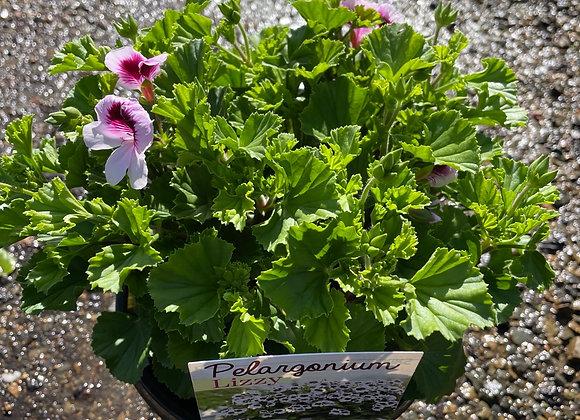 Pelargonium - Lizzy 18cm pot