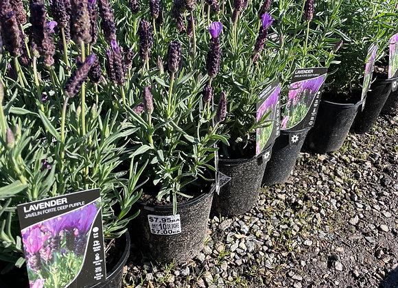 Lavender-Javelin Forte Deep Purple