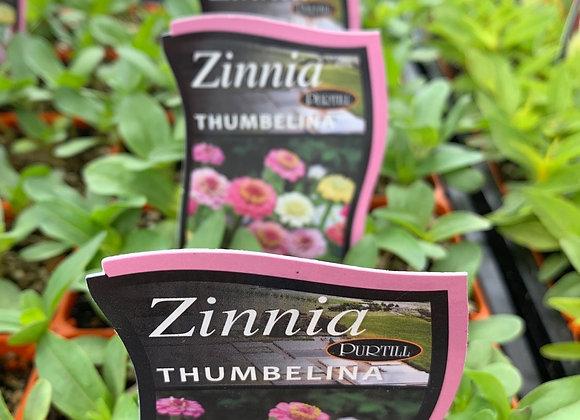 Zinnia - Thumbelina punnet