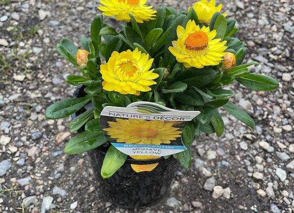 Bracteantha - Mohave Yellow14cm pot