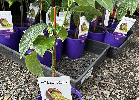 Passionfruit Nellie Kelly Black Passionfruut 12cm pot