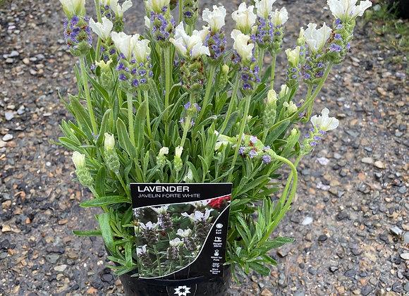 Lavender Javelin Forte White 14cm pot