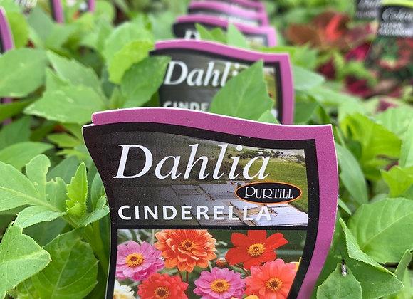 Dahlia - Cinderella punnet